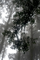 Sitka spruce in the fog